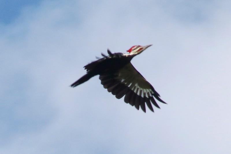 Pileated Woodpecker (Male) @  @ Castlewood SP