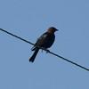 Brown-headed Cowbird @ Kaskaskia Island