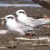 Forster's Terns @ Riverlands MBS