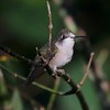 Ruby-throated Hummingbird @ Lost Valley Trail