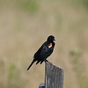 Red-winged Blackbird (Male) @ Bellefontaine Conservation Area