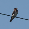 Cliff Swallow @ Kaskaskia Island