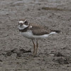 Semipalmated Plover @ Confluence Point SP [Confluence Road]