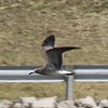 Laughing Gull (Immature) @ Riverlands MBS