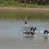 Double-crested Cormorants @ Kaskaskia Island