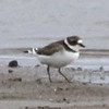 Semipalmated Plover @ Riverlands MBS