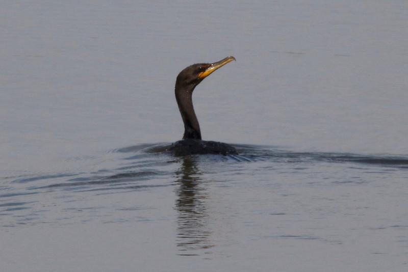 Double-crested Cormorant @ Horseshoe Lake SP