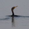 Double-crested Cormorant @ Horseshoe Lake SP