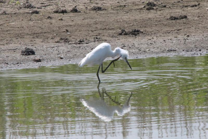 Little Blue Heron (Immature) @ Kaskaskia Island
