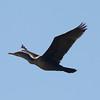 Double-crested Cormorant @ Kaskaskia Island