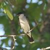 Eastern Kingbird @ Little Dixie CA