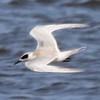 Forster's Tern @ Riverlands MBS