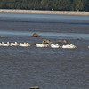 American White Pelicans @ Lincoln Shields RA