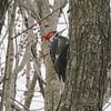 Pileated Woodpecker @ Creve Coeur CP