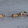 Northern Shovelers @ Lincoln Shields RA