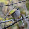 White-crowned Sparrow @ Silver Creek Preserve