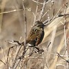 Swamp Sparrow @ Shaw Nature Reserve