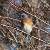 Eastern Bluebird @ Shaw Nature Reserve