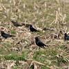 Brewer's Blackbirds @ Clinton County, Illinois