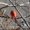 Northern Cardinal (Male) @ Simpson Lake CP