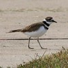 Killdeer @ Bellefontaine CA