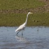 Great Egret @ Lincoln Shields RA