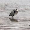 Great Blue Heron @ Two River NWR [Swan Island Causeway]