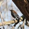 Rusty Blackbird @ Simpson Lake CP