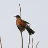 American Robin @ Bellefontaine CA