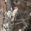 Red-bellied Woodpecker @ Elephant Rocks SP