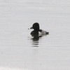 Ring-necked Duck @ Two River NWR [Swan Island Causeway]