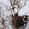 Bald Eagle (Adult on Nest) @ Simpson Lake CP
