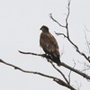 Bald Eagle (Immature) @ Two River NWR [Swan Island Causeway]