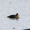 Greater White-fronted Goose @ Ellis Bay