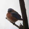 Eastern Bluebird @ Grand Glaize Creek