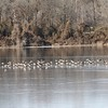 Canada Geese @ Simpson Lake CP