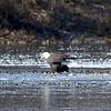 Bald Eagle (Adult eating fish on ice) @ Simpson Lake CP
