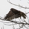 Red-tailed Hawk @ Clarence Cannon NWR