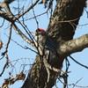 Downy Woodpecker (Male) @ Simpson Lake CP