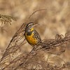 Eastern Meadowlark @ Keeteman Road Sod Farm