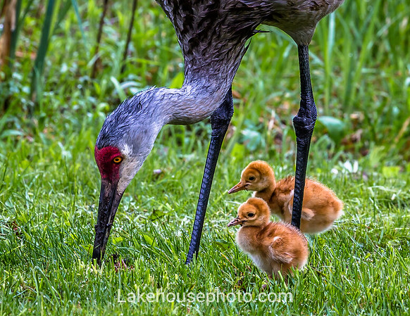 May - Sandhill Cranes