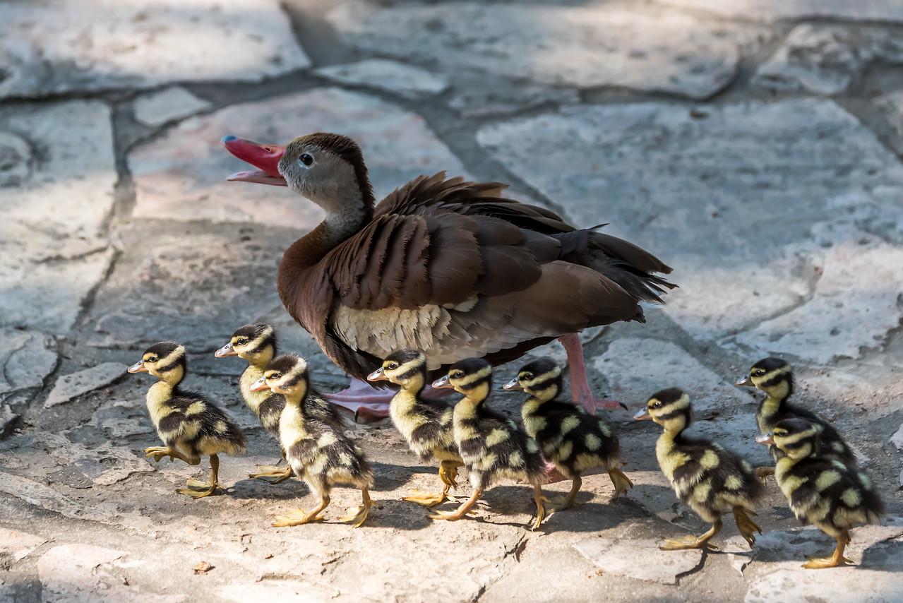 Black-Bellied Whistling Ducks...June 7, 2016