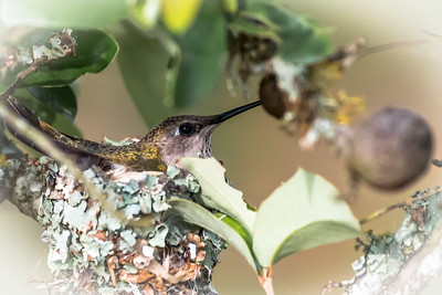 Hummingbird Nest...May 14, 2016