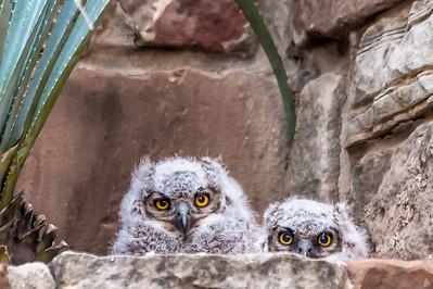 Owlets...Austin...April 8, 2016