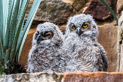 Baby Owls...Austin...April 13, 2016