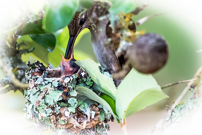 baby Hummingbird being fed....May 24, 2016