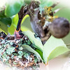 baby Hummingbird being fed....May 24, 2016