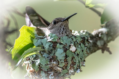 Hummingbird sitting on eggs...May 20, 2016