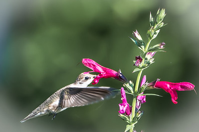 Hummingbird...Cafe Garden...June 8, 2016
