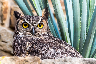 Great Horned Owl....Austin Texas